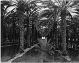 Palm Grove by Ansel Adams